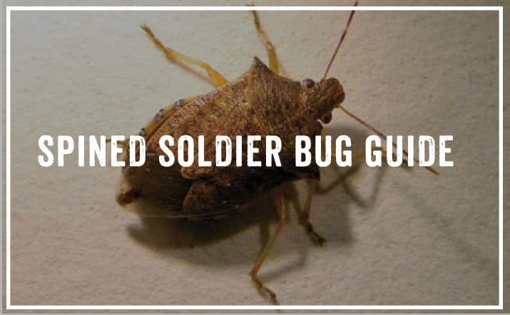 Get Rid of Spined Soldier Bug