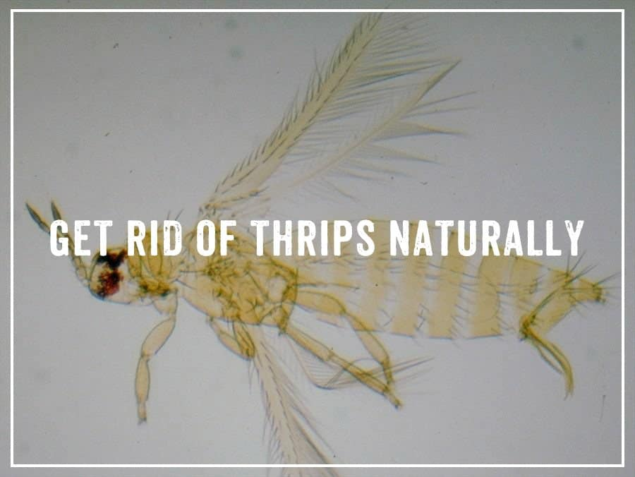 Get Rid of Thrips Naturally