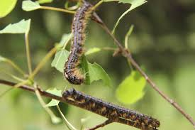 Tent Caterpillars Final Guide