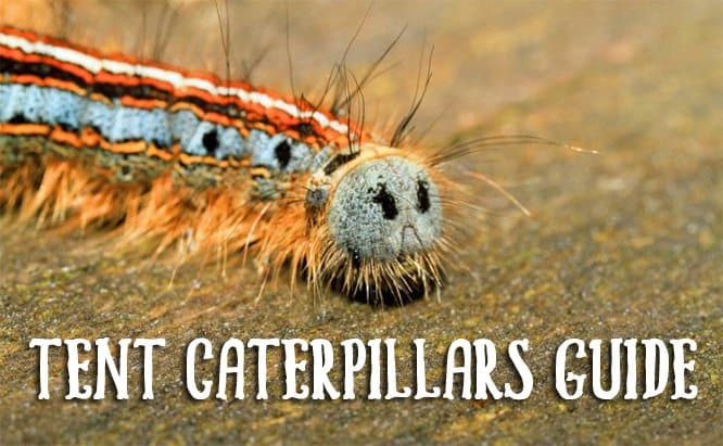 Tent Caterpillars Guide