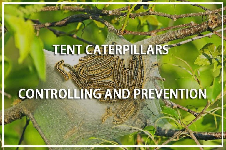 Tent Caterpillars Prevention