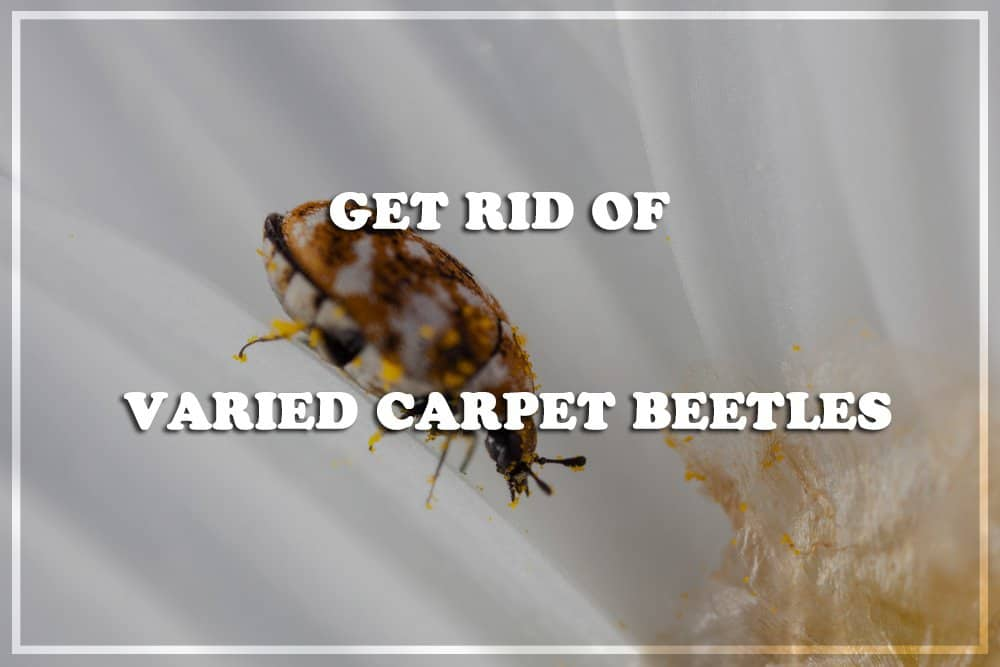 10 Best Products to Get Rid of Varied Carpet Beetles