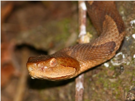 Hanging copperhead snake
