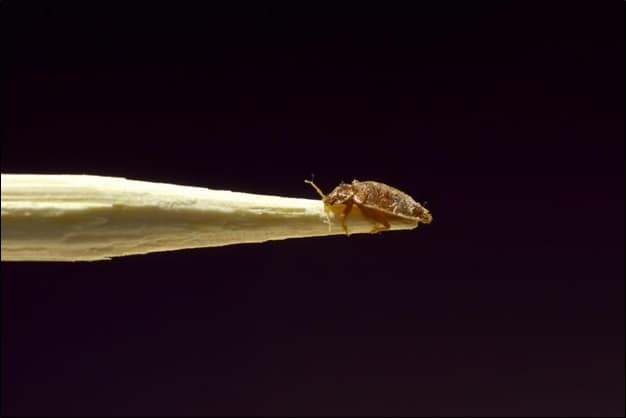 Bed Bug on a Stick
