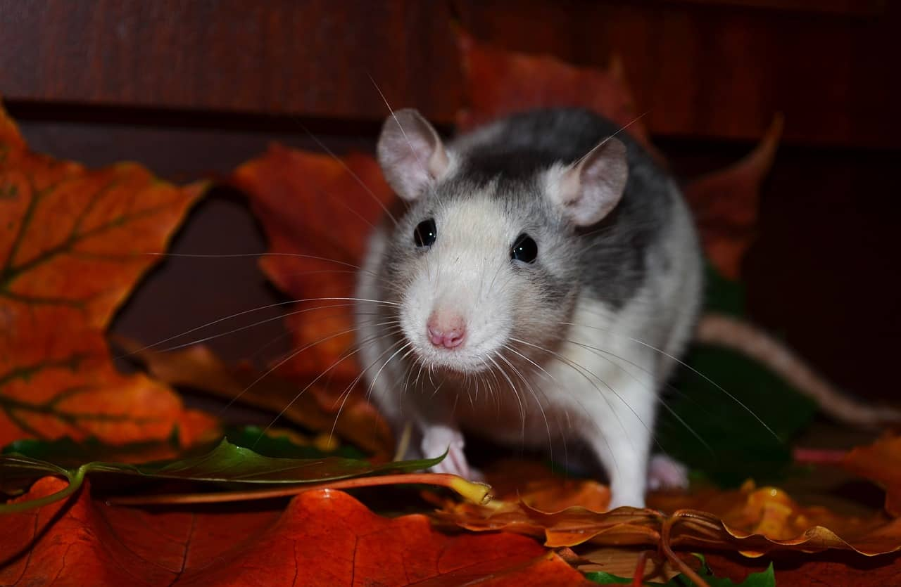 The 9 Best Rat Traps of 2019